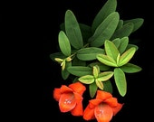 Red Flowers color photography gladiolas and green leaves of St Johns Wort dramatic black background photoscan 11 x 14 photo