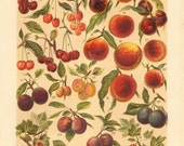 1901 Drupes and Berry Fruits, Apricots, Cherry Fruits, Peaches, Plums, Redcurrant, White Currant, Gooseberry Varieties Antique Lithograph