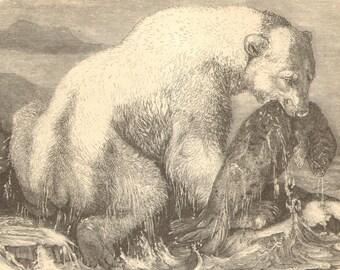 1903 Original Antique Engraving of Bears
