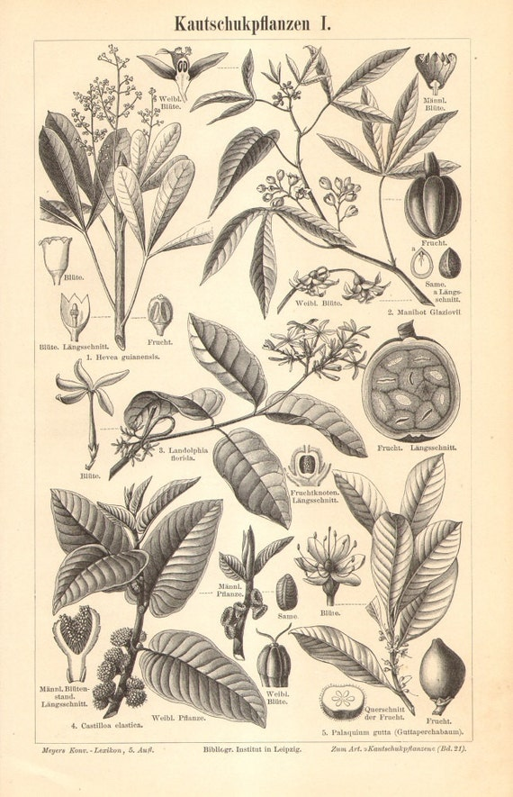1896 Rubber Tree Varieties, Ceara Rubber, White Rubber Vine, Panama Rubber Tree, Gutta Percha, Mangaba, Rubber Fig Antique Engraving
