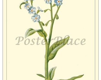 Forget-me-not ART CARD - botanical print reproduction 2104