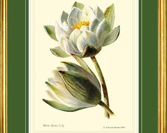 White Water Lily - Botanical print reproduction 2116