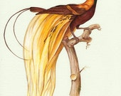 Natural History Art, Yellow Bird of Paradise print from a watercolor painting by Irene Owens
