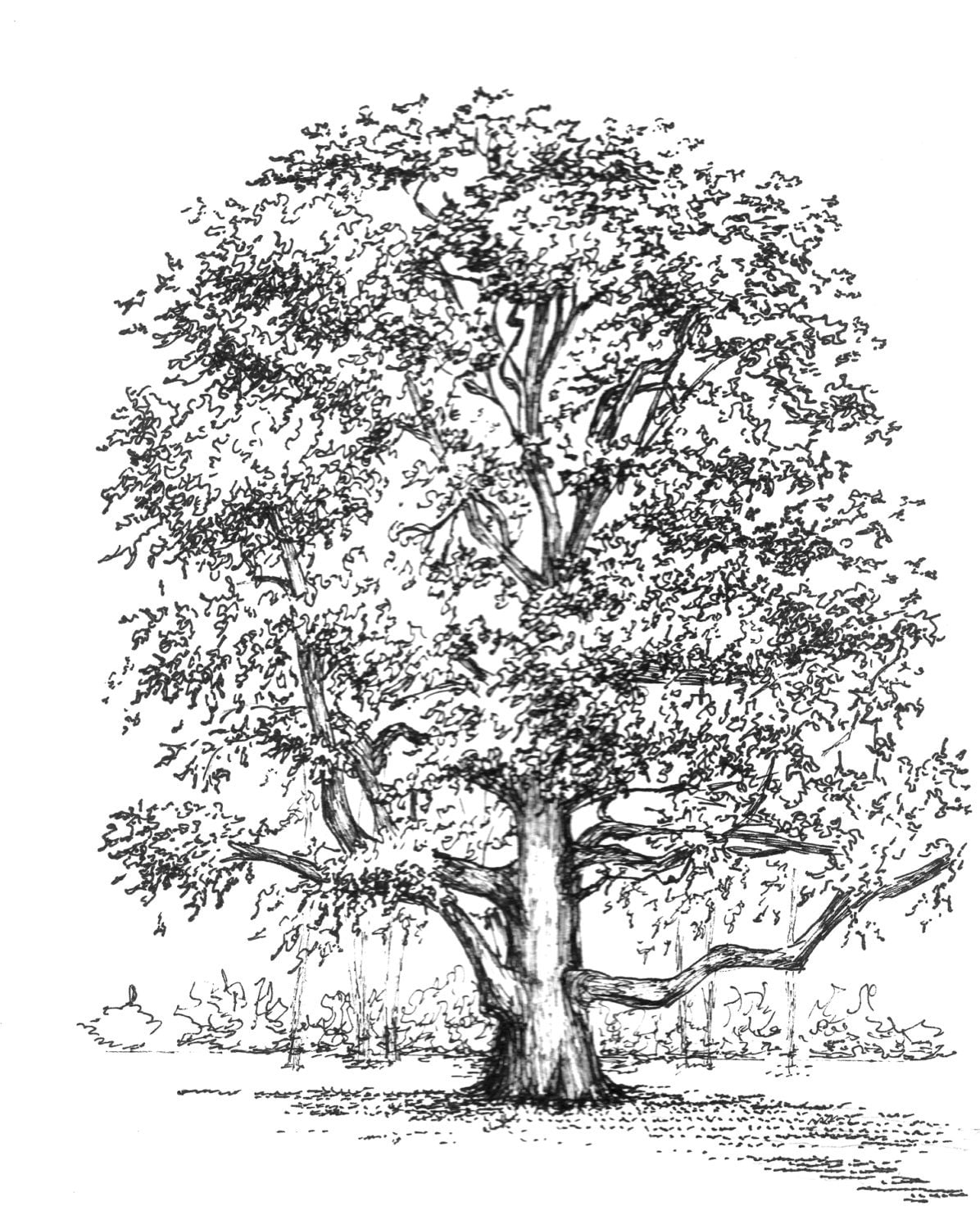 This is a graphic of Fan Tree Pen Drawing