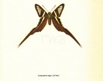 Butterfly Print, Art Print, Natural History, Art Illustration to Frame, Book plate, Entomology, Lamproptera Meges, brown, A-2