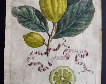 Antique Engraving of Citrus Fruit 1646 from Hesperides sive, De Malorum Aureorum, Lemon