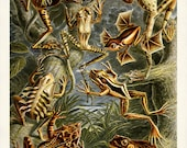 Tree Frogs Art Print, Frog Poster, Art Nouveau Ernst Haeckel Scientific Illustration, Frog Picture, Natural History Wall Art Educational Art