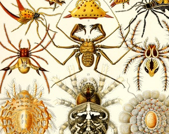 Spider Print, Spider Art, Poster, Ernst Haeckel Arachnid Scientific Illustration, Natural History Art, Wall Art, Creepy Art