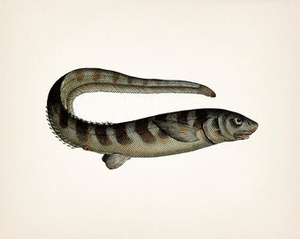Keen 1801 fish drawing - 8x10 Fine art print of a vintage natural history antique illustration