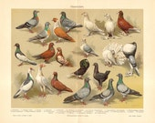1904 Pigeons, Rock Pigeon, Frillback, Trumpeter, Tumbler, Jacobin, Fantail, Pouter, Scandaroon, Carrier, Barb, Show Racer Antique Lithograph