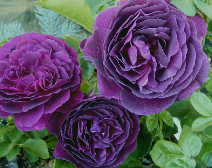 Ebb Tide Rose Bush Plant Purple Fragrant Rose Grown Organic Potted - Own Root Rose Non-GMO