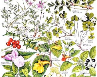 1965 Botanical Print - Impatiens, Wood Sorrel - British Flowers Vintage Book Plate P21