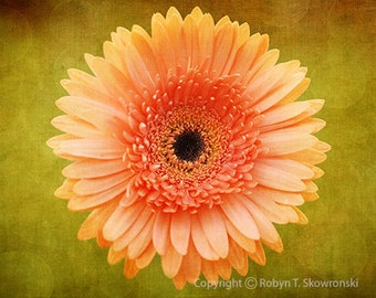 Dreamy Orange Gerber Daisy with a Green Background - 4x6 Fine Art Photograph