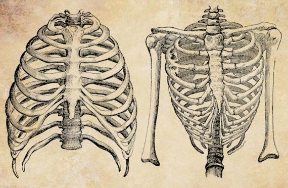 Rib Cage Anatomy Drawing Rib Cage Human Anatomy Torso