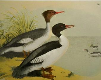 Vintage Bird Print, Large chromolithograph from Studer's Popular Ornithology, Merganser