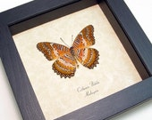 Large Exotic Real Shadowbox Framed Cethosia Biblis Cat Face Lacewing Butterfly 146 v