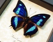 Real Blue Sky Butterfly Anaea cyanea Conservation Quality 137