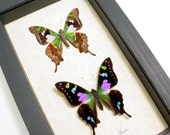 Great Mother's Day Gift Best Seller For 18 Years Graphium Weiskei Museum Display 229p