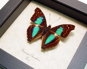 Turquoise Emperor Real Framed Butterfly Display 305