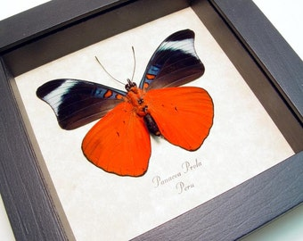 Framed Butterfly Red Flasher Real Conservation Quality 156V
