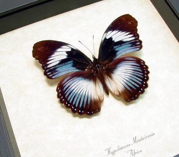 Real Framed African Blue Swirls Conservation Butterfly Display 116