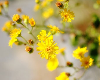 Nag's Head Flowers - Wild Daisy - Yellow Daisy - Yellow and Green - Nature - Fine Art Photograph by Kelly Warren