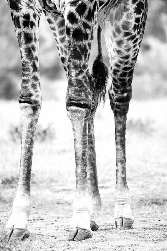 Giraffe Knees in Kruger Park South Africa 8x12 looks fabulous BIG