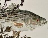 "Striped Bass - ""Rock Fish"" - Gyotaku Fish Rubbing - Limited Edition Print (31 x 16)"