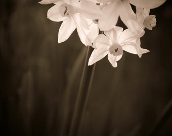 Daffodils Photograph, Garden Home Decor, Nature Photography, Flower Art, Floral Wall Decor, Sepia Flowers