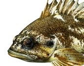 """Gopher Rockfish, original gouache painting print, printed on EPSON watercolor paper, paper size 8""""x10"""""""