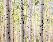 Grove of Green Aspen Trees Near Aspen Colorado (photo, various sizes)