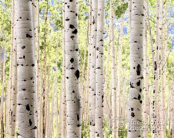 Grove of Green Aspen Trees Near Aspen Colorado (photo, various sizes)