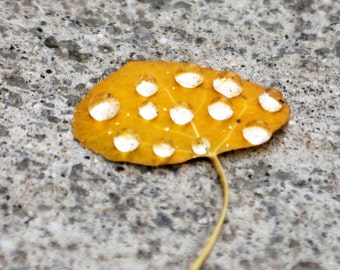 "Colorado Photo / Aspen Photo / Golden Aspen Leaf With Water Droplets (8"" x 10"" photograph)"