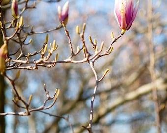 Spring Magnolia Bloom 5x7 Print