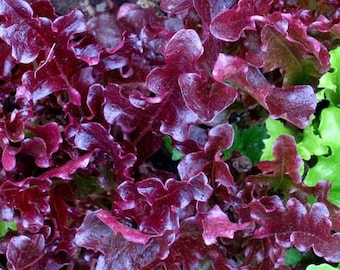 Organic Red Oak Leaf Lettuce Seeds