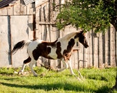 Paint Horse Out to Play, Horse Photography, Equestrian Art