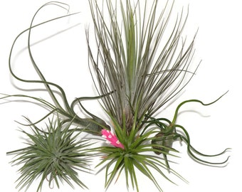 Air plants. Group of 5 for sale. Instant indoor garden.