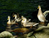 Mallard Ducks, Nature Photography, Woodland, Print or Greeting Card, Gift Idea, Wall Decor, Bird Lover, Bird Enthusiast