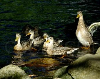 Mallard Ducks Family Nature Photography Woodland River