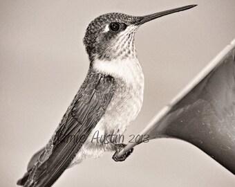Hummingbird at Rest 12x12 Black and White Fine Art Photograph - Bird, Nature, Black, White