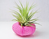 Hot Pink Sea Urchin with Tillandsia Air Plant (airplant  included)
