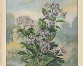 Heliotrope. 1926 country cottage garden old fashioned botanical color lithograph print