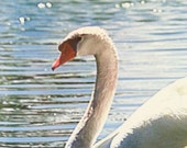 Swan Canvas Duo