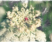 Queen Anne's Lace Photograph, Wild Carrot photo, white flower picture, wild flower, umbellifer, Apiaceae, distressed look, antique finish