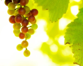 Grapes on Vine Nature Photograph Vineyard Winery Fine Art Photography Fruit Wine Green Red Burgundy Color Photograph Wall Art Print