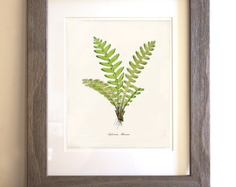 Antique Fern Art Print - 8x10 - Asplenium Alternans