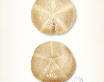 Coastal Decor Sea Shell Art - Two Natural History Fossilized Sand Dollars Nautical  Giclee Print 8x10