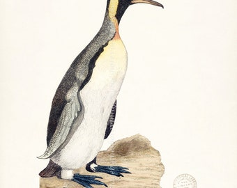 Coastal Decor Sea Bird Natural History Wall Decor Art Print - King Penguin 8x10