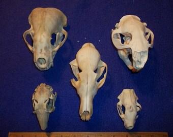 5 Real animal bone animal skulls Badger Beaver Rabbit Skunk Fox teeth taxidermy head rodent