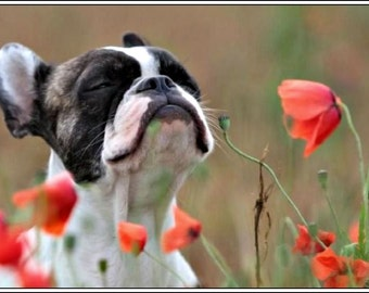 4 Dog Puppy Boston Terrier dogs puppies poppies Greeting Notecards/ Envelopes Set